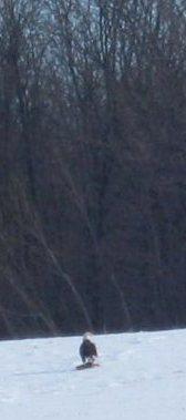 Bald Eagle near Bornish
