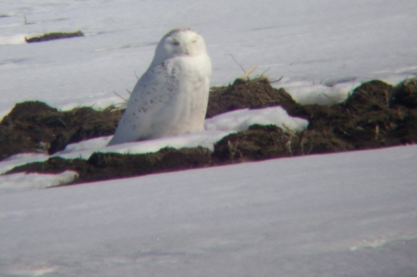 Nesting nowy owl on Cuddy Drive