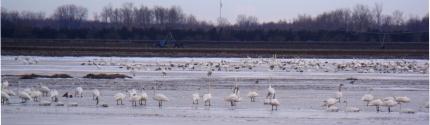 swans thedford bog